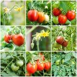 Reeks van Tomaten het groeien Royalty-vrije Stock Foto's