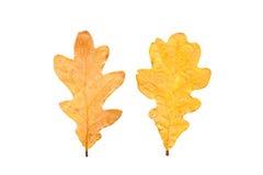 Reeks van twee de herfstbladeren in verschillende staten van het vernietigen Royalty-vrije Stock Foto's