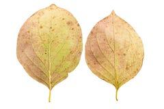 Reeks van twee de herfstbladeren in verschillende staten van het vernietigen Stock Fotografie