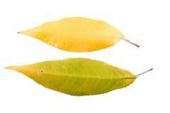 Reeks van twee de herfstbladeren in verschillende staten van het vernietigen Stock Foto