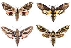 Reeks van vier Sphingidae-havik-motten royalty-vrije stock foto's