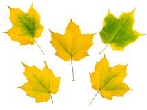 Reeks van vijf gele bladeren van de de herfstesdoorn Stock Fotografie