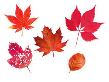 Reeks van vijf rode de herfstbladeren Stock Afbeelding