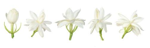 Reeks van Witte bloem, Thaise die jasmijnbloem op witte achtergrond wordt geïsoleerd royalty-vrije stock afbeeldingen