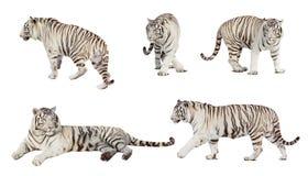 Reeks van witte tijger. over wit Stock Afbeelding
