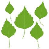 Reeks vector groene berkbladeren voor uw ontwerp Stock Afbeeldingen