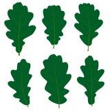 Reeks vector groene eiken bladeren voor uw ontwerp Stock Foto's