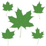 Reeks vector groene esdoornbladeren voor uw ontwerp Stock Afbeelding