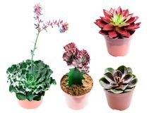Reeks verschillende succulents in verschillende die types op wit worden geïsoleerd Stock Fotografie