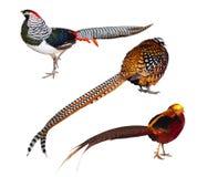 Reeks vogels van de Fazant. Geïsoleerdg over wit Royalty-vrije Stock Fotografie