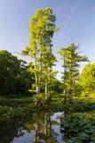 Reelfoot湖的池柏 免版税库存照片