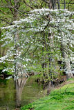 Reelfoot Lake Dogwood. Dogwood Tree Blooms In Spring At Reelfoot Lake State Park In Tennessee royalty free stock photo