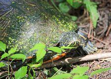 Eastern mud turtle stock photography