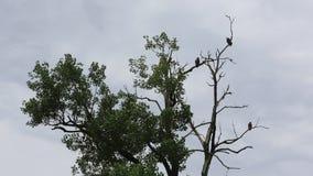 Three eagles on the tree
