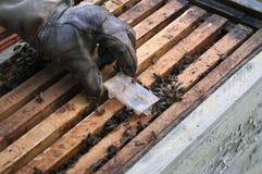 Reemplazo de una reina de la abeja Imágenes de archivo libres de regalías
