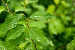 Reen leafs with water drops Stock Image