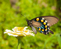 Reen Swallowtail Butterfly Royalty Free Stock Photos