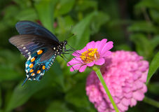 Reen Swallowtail Butterfly on Zinnia Royalty Free Stock Photo