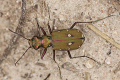 Reen tiger beetle (Cicindela campestris) Stock Photography