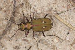 Reen tiger beetle (Cicindela campestris). Macro photo Stock Photography