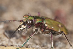Reen tiger beetle (Cicindela campestris) Royalty Free Stock Photo