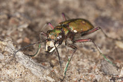 Reen tiger beetle (Cicindela campestris) Stock Photos