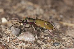 Reen tiger beetle (Cicindela campestris) Stock Photo