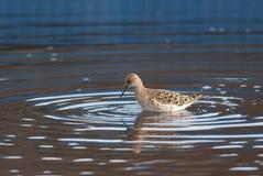 Reeve в пруде Стоковая Фотография RF