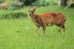 Reeve's muntjac Royalty Free Stock Photo