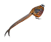 Reeve's Pheasant. Isolated over white Royalty Free Stock Photography