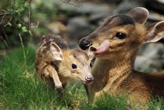 reeves le muntjac Photographie stock