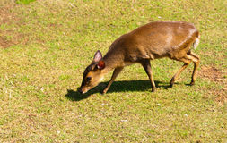 Reeves' Muntjac Royalty Free Stock Image