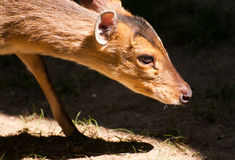 Reeves' Muntjac Royalty Free Stock Photo