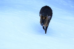 Reeves-muntjac stockbilder