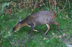 Reeves muntjac, Muntiacus reevesi. Close up of Reeves muntjac in forest Royalty Free Stock Photography
