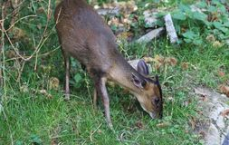 Reeves muntjac, Muntiacus reevesi. Close up of Reeves muntjac in forest Royalty Free Stock Photo