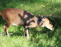 Reeves muntjac, Muntiacus reevesi. Close up of Reeves muntjac in forest Stock Photo
