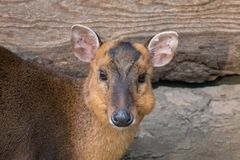 Chinese muntjac doe close-up portrait royalty free stock photography