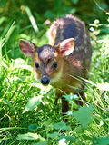Reeves muntjac (Muntiacus reevesi) Royalty Free Stock Photography