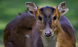 Reeves's Muntjac. The Reeves' Muntjac (Muntiacus reevesi stock photography