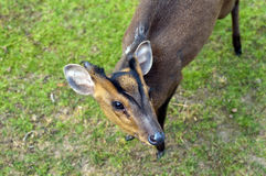 Reeves S Muntjac Royalty Free Stock Photos