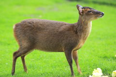 Reeves's muntjac Royalty Free Stock Photography