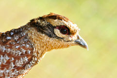 Reeves's Pheasant Stock Images