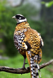 Reeves's Pheasant Stock Image
