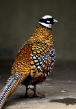 Reeves's Pheasant. A foraging Reeves' s Pheasant stock images