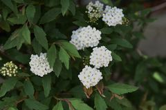 Reeves-spirea Bl?ten stockfoto