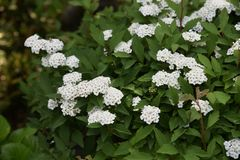 Reeves-spirea Bl?ten stockbilder
