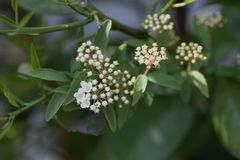 Reeves spirea blossoms. / Spiraea cantoniensis stock photography