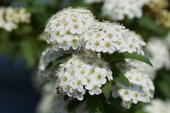 Reeves spirea blossoms. / Spiraea cantoniensis stock photos