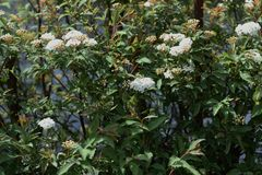 Reeves spirea blossoms. / Spiraea cantoniensis stock photo